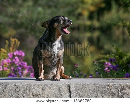 a cute chihuahua mix yawning on a hot summer day on a bench in a park in front of some pretty flowers
