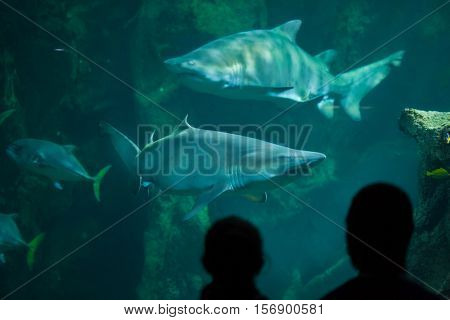 LA ROCHELLE, FRANCE - JULY 3, 2016: Visitors look as the sand tiger sharks (Carcharias taurus), also known as the grey nurse sharks, swim in La Rochelle Aquarium, France.