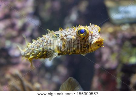 Striped burrfish (Chilomycterus schoepfi), also known as the spiny boxfish.