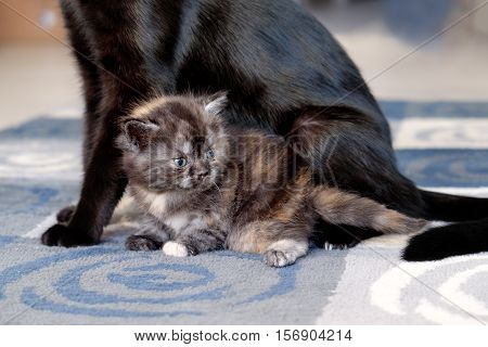 cat with kittens. Black cat with striped kittens.