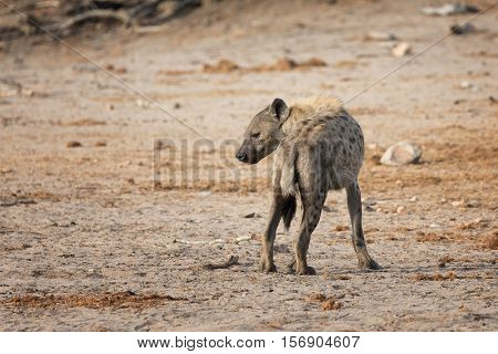 Standing hyena, rear view, Kruger National Park, South Africa.