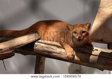 The South American weasel cat Jaguarundi in red