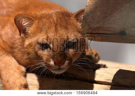 The South American weasel cat Jaguarundi in red
