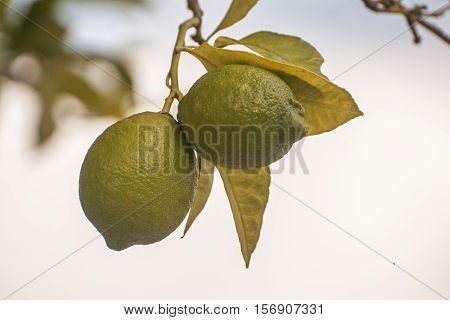 It is image of lemon tree in Greece.