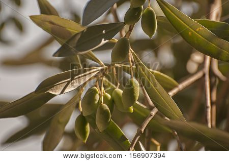 It is image of olive tree in Greece.