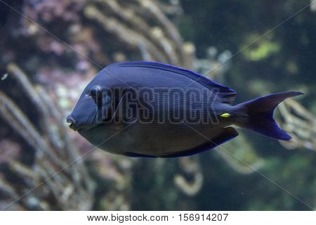 Atlantic blue tang (Acanthurus coeruleus), also known as the blue doctorfish.
