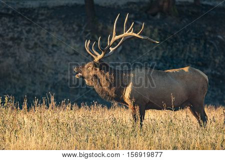 a bull elk bugling in a meadow during the fall rut