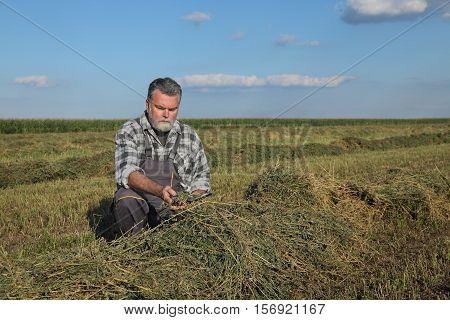 Farmer In Clover  Field After Harvest