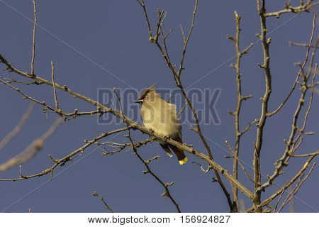 Bohemian Waxwing Sitting in Tree with a clear blue sky.