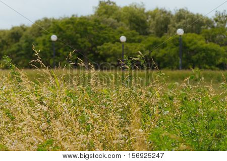 Sunny park with dry fescue with trees and lampposts in the background