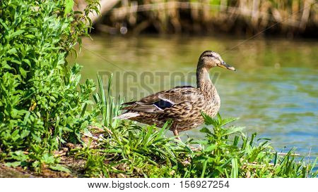 alert brown duck at the water's edge between the grass
