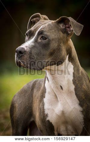 Portrait of an American Pitbull female dog