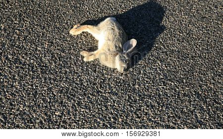 Road Kill. A Jack Rabbit lays dead on a highway in the desert Joshua Tree area desert most likely hit by a speeding car.