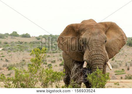 Bush Elephant Eating Behind The Bushes