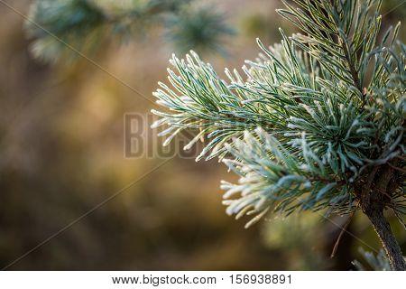 Hoarforost On Needles Of Pine Tree