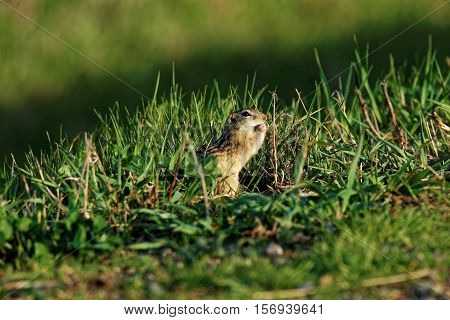 A Thirteen-Lined Ground Squirrel nibbles on some food while hiding in the grass.