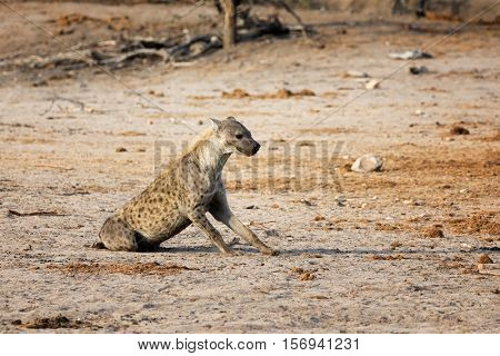 Sitting hyena in South Africa
