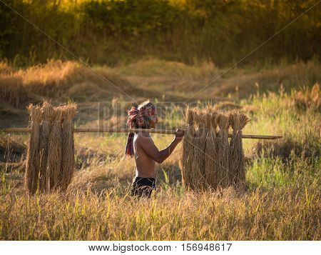 Thai farmer carrying the rice on shoulder after harvest farmer work to keep the rice to be sold.