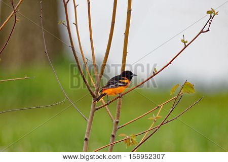 A Baltimore Oriole perches in a bush. These beautiful songbirds can be found in Iowa during the summer.