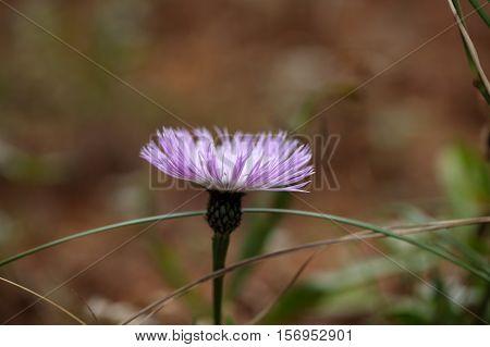 Flower of the Ethiopian Knapweed Plectocephalus varians.