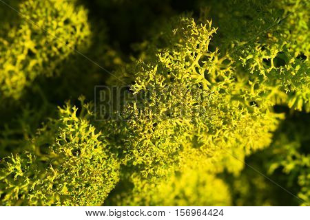 Reindeer Moss Wall, Green Wall Decoration, Lichen Cladonia Rangiferina