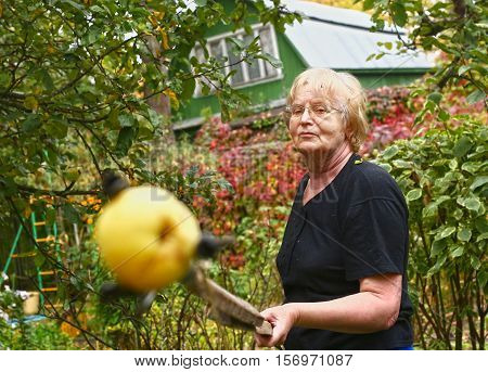 pensioner attractive woman harvesting apple with stick close up photo on green garden background