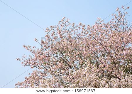 Pink Pantip blossom flowers on the tree.