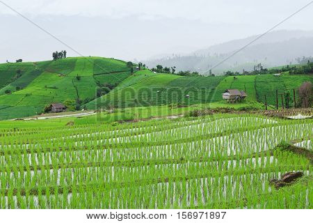 Green Terraced Rice Field In Pa Pong Pieng