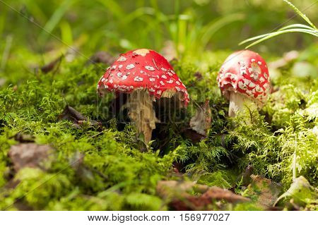 Poisonous Mushroom. Two Red Amanita Muscaria On Green Moss In Autumn Forest. Scenic Autumn With Amanita Muscaria.