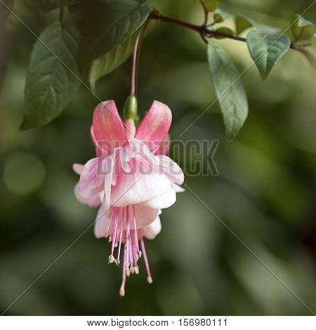 Pink fuchsia flower in garden, close up