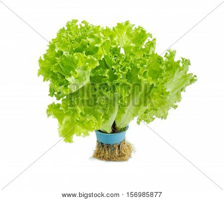 Bundle of a fresh green lettuce with roots grown hydroponically on a light background