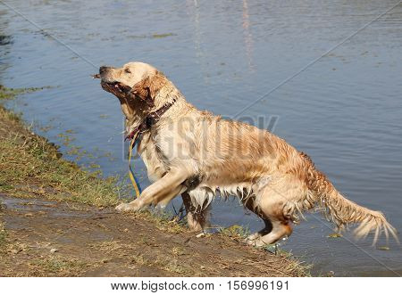 Golden retriever runs out of the water with a stick in his mouth