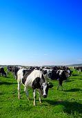 Herd of cows grazing in meadow poster
