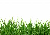 Green Blades of Grass Isolated on White Background poster