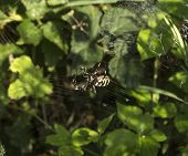 wasp spider with yellow and black stripes on its abdomen in its web poster