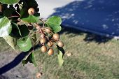 A cluster of small fruits cling to a Callery pear tree (Pyrus calleryana), also called the Bradford flowering pear,  in the Wesmere Country Club subdivision of Joliet, Illinois during November. poster