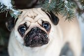 Under the tree. Pug in snow. Muzzle pug. poster