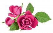 pink  rose flower bouquet isolated on white background cutout poster