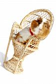 pet guinea pig sat in wicker chair poster