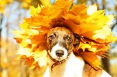 Funny Jack Russell terrier with chaplet made of maple leaves in autumn park, close up poster
