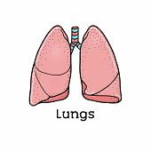 Human lungs, anatomical vector illustration isolated on white background. Healthy human lungs, anatomical illustration, physiology, healthcare poster