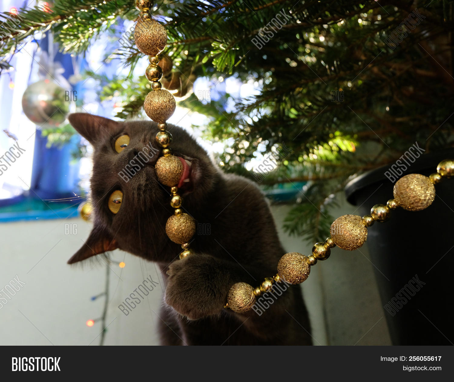 naughty cat chewing on christmas tree decorations