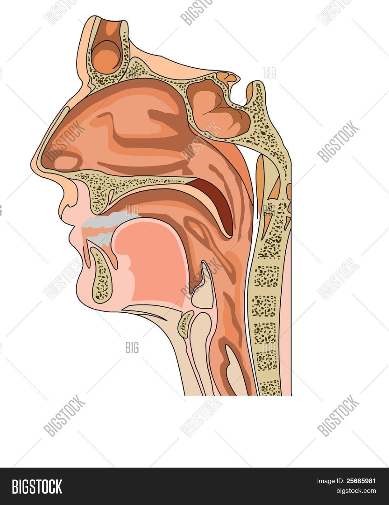 Anatomy Nose Throat Vector & Photo (Free Trial) | Bigstock