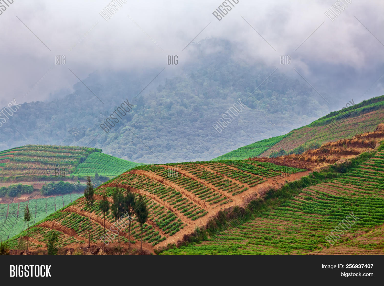 Cultivated Hillside Plantation With Growing Green Plan Rows Garden Patches On Farmland Natural Pattern Agricultural Land Fresh Crop
