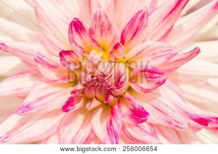 Close-up of a beautiful Pink Cactus Dahlia Flower in the Summertime. View to a flowering Dahlia Hybrida Flower.