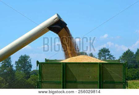 The Pipe Of A Combine Is Working To Storage The Harvested Grain Into A Trailer