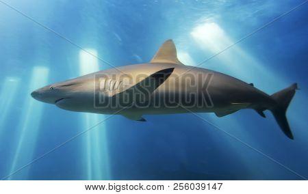A Close Up Portrait Of A Blacktip Shark, Carcharhinus Limbatus, Common Inshore Off Maui, Hawaii
