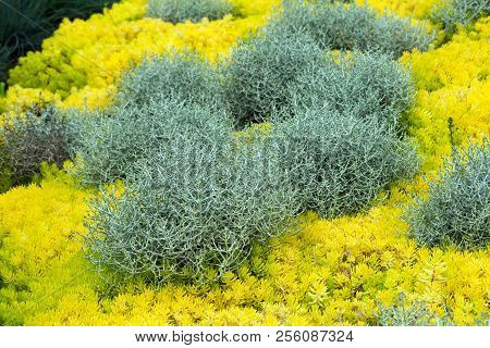 calocephalus brownii, a beautiful, unusual plant for home and garden, grows gray-silvery bushes surrounded by yellow sedum reflexum Angelina, also known as sedum rupestre Angelina, garden, poster