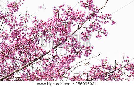 Beautiful Cherry Blossom Sakura  (prunus Cesacoides) Isolated On White Background. Pink Cherry Bloss