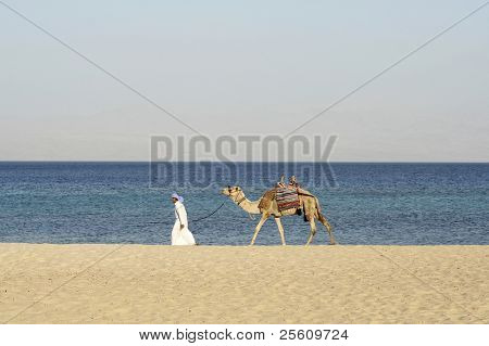 camel in the red sea region, sinai, egypt poster